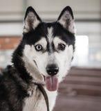 一条多壳的狗的画象 免版税库存图片