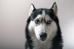 一条多壳的狗的纵向 图库摄影