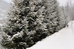 一条多雪的道路标示用云杉的树在南波兰在雪飞雪期间在冬天在维斯瓦附近镇  免版税库存图片