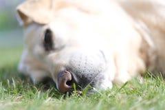 一条大品种狗的黑湿鼻子 免版税库存图片
