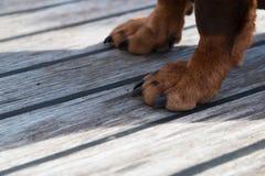 一条大棕色狗的爪子在木地板上的 免版税库存图片