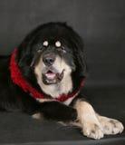 一条大狗的纵向在黑色背景的。 免版税库存图片