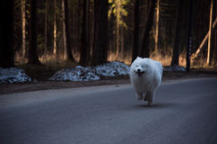 一条大白色狗在森林里快速地跑 免版税库存图片