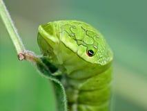一条大绿色毛虫的纵向 免版税库存图片