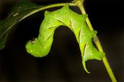 一条大绿色毛虫 免版税库存照片