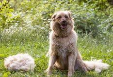 一条大蓬松愉快的狗在流洒他们的羊毛以后坐户外 库存图片
