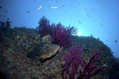 一条大鱼在岩石出来 免版税库存图片