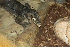 一条大鳄鱼的头的特写镜头 免版税库存照片