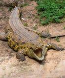 一条大鳄鱼的画象 免版税图库摄影