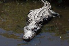 一条大鳄鱼 免版税库存图片