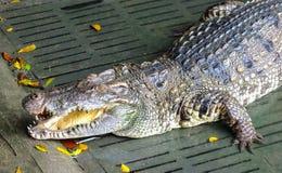 一条大鳄鱼 免版税库存照片