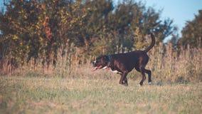 一条大,黑,危险狗横跨秋季冬天领域跑 Amstaff混合 库存图片