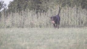 一条大,黑,危险狗横跨秋季冬天领域跑 Amstaff混合 图库摄影