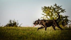 一条大,黑,危险狗横跨秋季冬天领域跑 Amstaff混合 库存照片