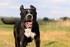 一条大,黑,危险狗横跨秋季冬天领域跑 Amstaff混合 免版税库存图片