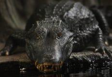 一条大repitile大鳄鱼 免版税库存照片