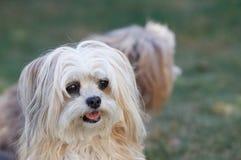 一条奶油色Bolonka狗的画象 库存照片