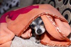 一条好奇逗人喜爱的奇瓦瓦狗狗的特写镜头在毯子下的 免版税库存照片