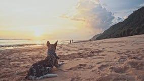 一条好的亲切的狗在海滩说谎在日落,摇摆他的尾巴,凝视入距离 海暑假旅行 股票视频