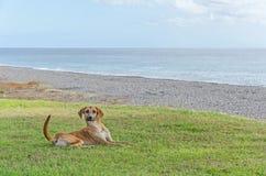 一条好的狗在草坪说谎在海附近 库存图片