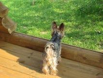 一条好的狗在草看 免版税库存图片
