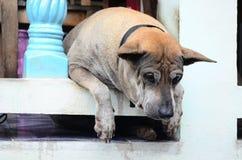 一条孤独的墙壁狗在泰国 免版税库存图片
