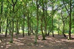 一条宽被日光照射了小径通过在橡木和白桦树树之间在舍伍德森林 库存图片