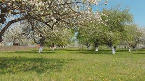 一条寄生虫的飞行在一个开花的苹果庭院下的在俄国村庄 影视素材