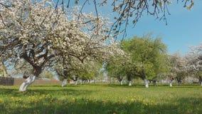 一条寄生虫的飞行在一个开花的苹果庭院下的在俄国村庄 股票录像