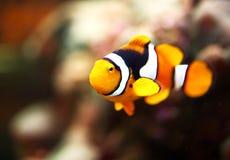 一条小丑鱼的特写镜头在礁石坦克的 免版税库存照片