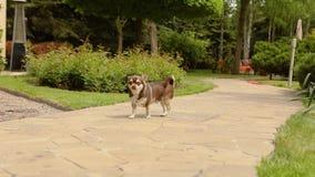 一条小多斑点的狗在一个铺路石家庭活动站立 幸福的片刻 家庭环境 股票录像