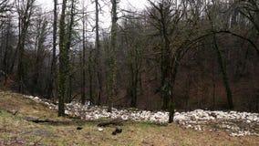 一条小径在有用在灰色天空背景的常春藤盖的平直的树干的秋天森林里 E 生苔树 股票视频