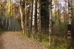 一条小径在桦树树丛,秋天风景里 免版税库存照片