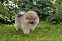 一条小有来历狗在绿草站立 免版税库存图片