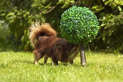一条小有来历狗在绿草站立 免版税库存照片