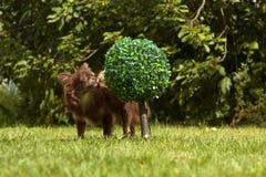 一条小有来历狗在绿草站立 库存照片