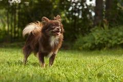一条小有来历狗坐绿色草 免版税库存图片