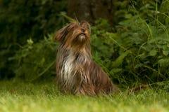一条小有来历狗坐绿草 库存图片
