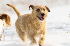 一条小棕色杰克罗素狗狗在有很多雪在冬天的草甸戏耍 图库摄影