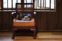 一条小棕色狗在椅子睡觉 图库摄影