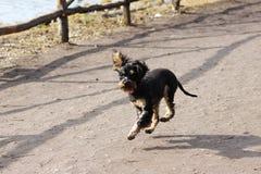 一条小犬座俄国黑玩具狗跳跃了,当跑时 免版税库存照片