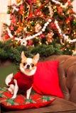 一条小狗坐在一把皮革扶手椅子的一个枕头反对b 免版税库存图片