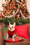 一条小狗坐在一把皮革扶手椅子的一个枕头反对b 免版税图库摄影