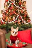 一条小狗坐在一把皮革扶手椅子的一个枕头反对b 库存照片