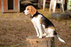 一条小猎犬狗的照片在庭院里 免版税图库摄影