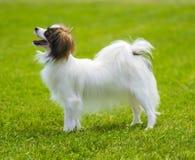 一条小白色和红色papillon狗 女孩甜的一点 免版税库存图片