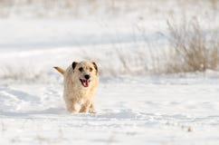 一条小白色杰克罗素狗狗在有很多雪在冬天的草甸戏耍 图库摄影