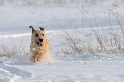 一条小白色杰克罗素狗狗在有很多雪在冬天的草甸戏耍 免版税库存图片