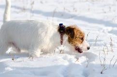 一条小白色杰克罗素狗狗在有很多雪在冬天的草甸戏耍 免版税库存照片