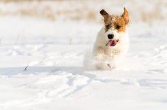 一条小白色杰克罗素狗狗在有很多雪在冬天的草甸戏耍 库存图片